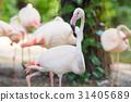Flamingo walking and looking at the camera 31405689