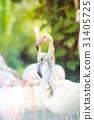 Flamingo looking at the camera 31405725