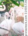 Flamingo looking at the camera 31405726