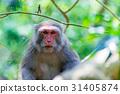 Portrait of a Formosan macaque 31405874