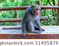 Macaque sitting on a bench in the forest 31405876
