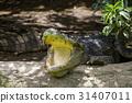 Close up Siamese Crocodile  in Thailand 31407011