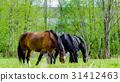 three horse in the field, chew grass 31412463