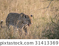 Leopard walking in the high grass. 31413369