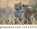 Two Leopards bonding in Kruger. 31413376