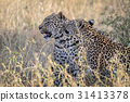 Two Leopards bonding in Kruger. 31413378