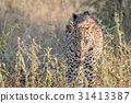 Leopard walking towards the camera. 31413387