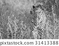 Leopard walking towards the camera. 31413388