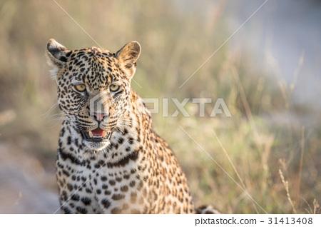 Starring Leopard in the Kruger. 31413408