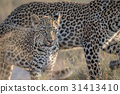 Young Leopard and mother walking. 31413410