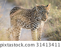 Young Leopard standing in the sand. 31413411