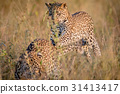 Leopard pouncing on her brother in the high grass. 31413417