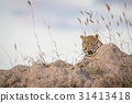 Leopard laying on a Termite mount and looking. 31413418