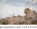 Leopard laying on a Termite mount and looking. 31413419