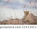 Leopard laying on a Termite mount and looking. 31413421