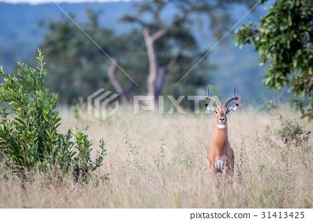 Impala ram starring at the camera. 31413425