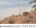 Leopard laying and sleeping on a Termite mount. 31413432