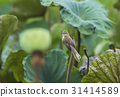 Plain Prinia ( White-browed Prinia ) 31414589