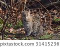 Fishing cat looking at camera 31415236