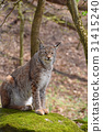 Eurasian lynx on moth stone in forest 31415240