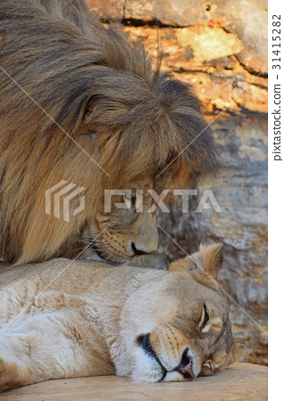 Close up side portrait of lion and lioness - Stock Photo