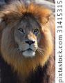 獅子 肖像 野生生物 31415315