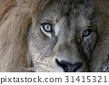 Extreme close up portrait of African lion 31415321