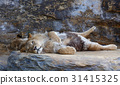 Young male African lion laying on the rock 31415325