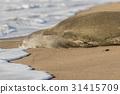 Monk Seal 31415709
