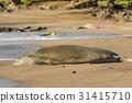 Monk Seal 31415710