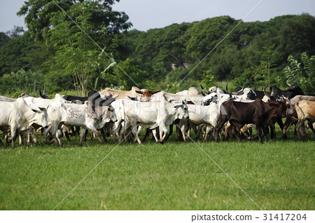 African cattle between green palms 31417204