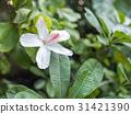 White Hibiscus - Oahu, Hawaii 31421390