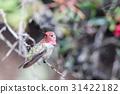 Anna's Hummingbird - Calypte anna) 31422182
