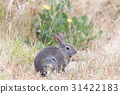 Alert Cottontail Rabbit munching grass in the rain 31422183
