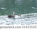 spot-billed, duck, parenthood 31423535