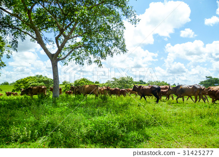 Cows graze free in the summer sun 31425277