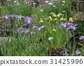 鸢尾 花朵 花卉 31425996