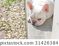 lie down French bulldog ,sleeping dog 31426384