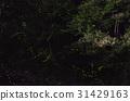 Firefly trajectory 31429163