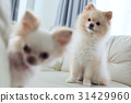 puppy pomeranian and chihuahua dog cute pet 31429960