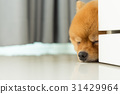 sleeping pomeranian puppy dog 31429964