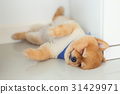 pomeranian puppy dog sleeping in home 31429971