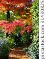 秋天 秋 楓樹 31430825