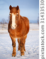 Horse in snow on a cold winter day. 31433530