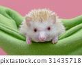 Cute hedgehog sitting in the cot 31435718