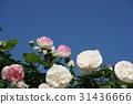 玫瑰 玫瑰花 蓝天 31436666