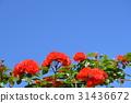玫瑰 玫瑰花 蓝天 31436672