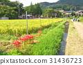 高麗川 彼岸花 石蒜 31436723