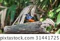Bird (White-rumped shama) in a wild 31441725