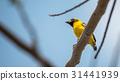 Bird (Asian golden weaver) on a tree 31441939